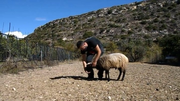 Κρητικός κάνει την πτυχιακή του εκπαιδεύοντας κριάρι [βίντεο]