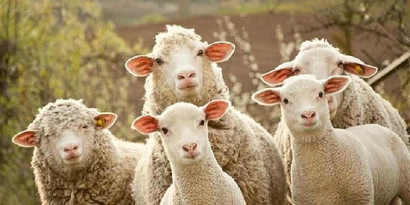 Απίστευτο! Δείτε τι κάνει βοσκός στα πρόβατα για να τα προστατέψει από τους κλέφτες!