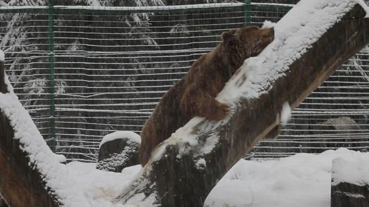Αρκούδα απολαμβάνει τα παιχνίδια στο χιόνι μετά από 20 χρόνια σε κλουβί [βίντεο]