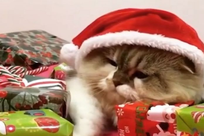 Αυτή η γάτα δεν μοιράζεται με τίποτα τα χριστουγεννιάτικα δώρα της [βίντεο]