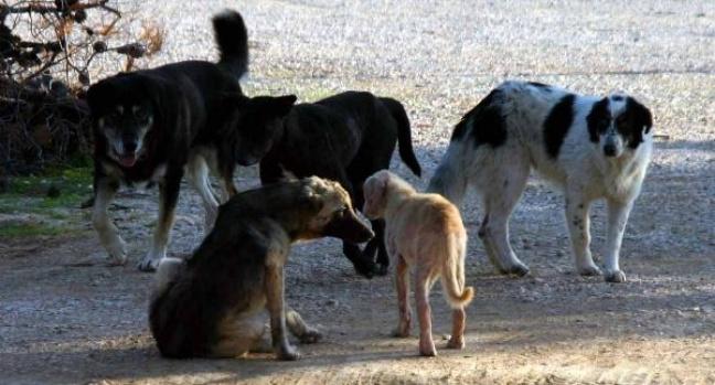 Χανιά: Αγέλη από αδέσποτα σκυλιά επιτέθηκε σε περισσότερα από 20 άτομα