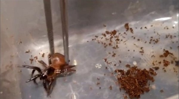 Μεγάλη ανακάλυψη: Βρέθηκε «αράχνη» 100 εκατ. ετών με ουρά (ΦΩΤΟ)