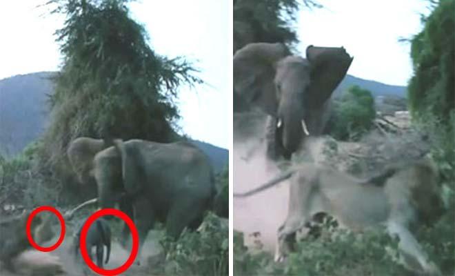Λιοντάρι Ορμάει σε ένα Μωρό Ελέφαντα. Η Αντίδραση της Μητέρας του θα Σας Κάνει να Ανατριχιάσετε… [Βίντεο]