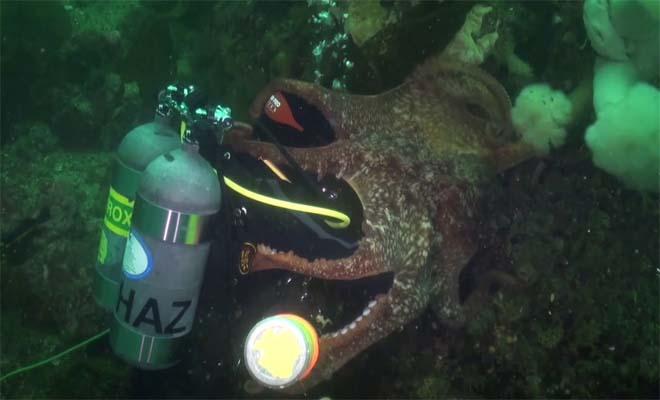 Απίστευτο βίντεο και όμως αληθινό. Γιγαντιαίο χταπόδι «καταπίνει» δύτη