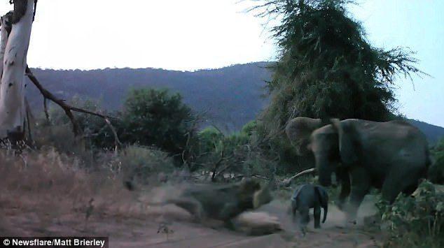 Λιοντάρι Ορμάει σε ένα Μωρό Ελέφαντα. Η Αντίδραση της Μητέρας του θα Σας Κάνει να Ανατριχιάσετε (ΒΙΝΤΕΟ)