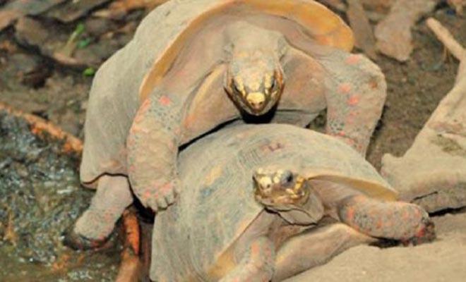Αυτό συμβαίνει αν διακόψεις δυο χελώνες που ζευγαρώνουν! Δείτε τι έπαθε αυτός ο τύπος… [Βίντεο]