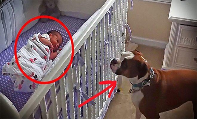 Το Σκυλάκι αυτό πρόκειται να γνωρίσει την νεογέννητη αδερφή του. Η αντίδραση του; Μοναδική!!! (ΒΙΝΤΕΟ)