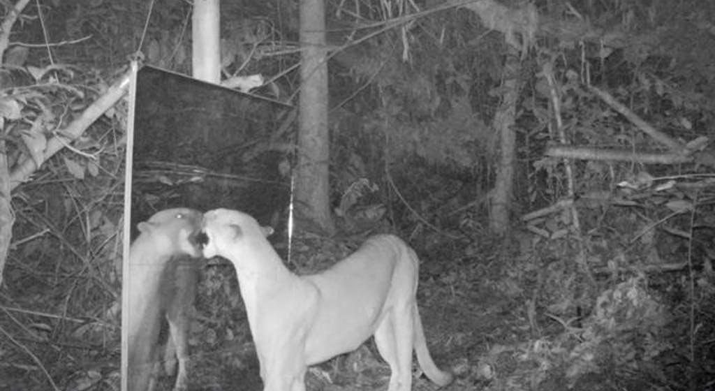 Άγρια ζώα κοιτάζονται για πρώτη φορά στον καθρέφτη [βίντεο]