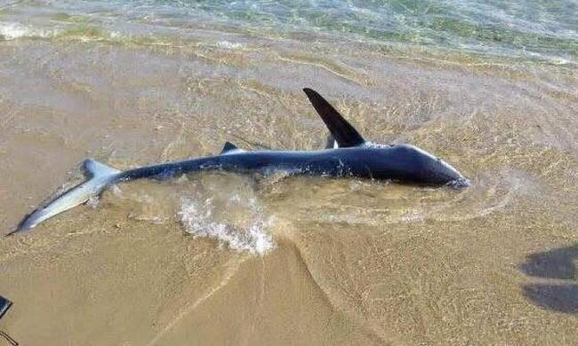 Χανιά: Καρχαρίας βγήκε στη στεριά [βίντεο]
