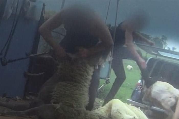 Μπουνιές, κλωτσιές και μαχαιριές σε πρόβατα για να τα κουρέψουν σε βρετανική φάρμα