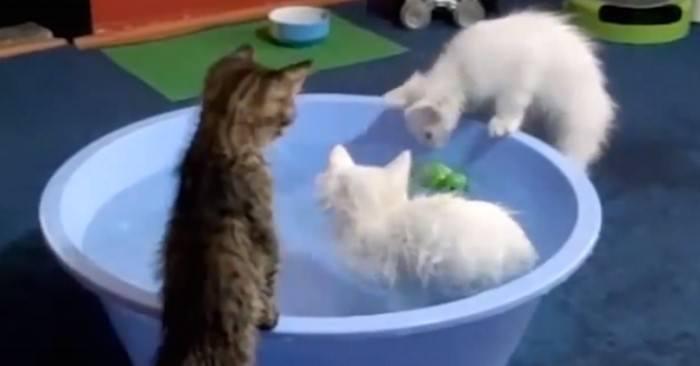 Αποφάσισε να κάνει μπάνιο στα 3 Γατάκια του. Αυτό που διαπίστωσε μόλις τα έβαλε στο Νερό, τον έκανε να τα Χάσει!