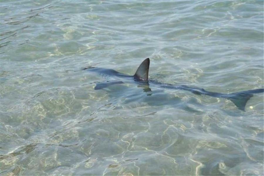 Καρχαρίας κολυμπούσε σε παραλία του Ρεθύμνου [βίντεο]