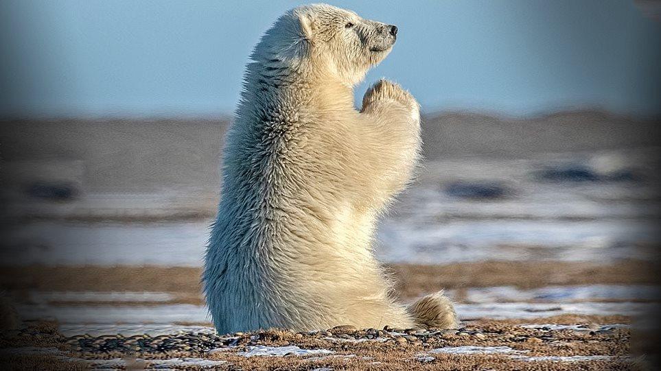 Viral η πολική αρκούδα που… προσεύχεται (εικόνες)