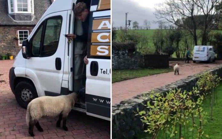 Πρόβατο κυνηγά… άνθρωπο