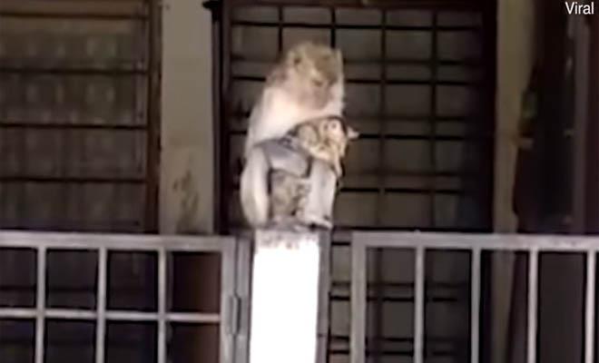 Η «απαγωγή» μιας γάτας από μαϊμού και η απρόσμενη εξέλιξη [Βίντεο]