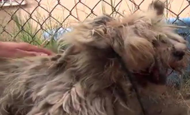 Βρήκαν σκύλο σε άθλια κατάσταση – Η μεταμόρφωση του θα σας κάνει να συγκινηθείτε [Βίντεο]