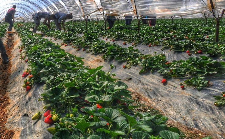 Τι βιώνουν οι μετανάστες εργάτες στον αγροτικό τομέα σε Ελλάδα, Ιταλία και Ισπανία