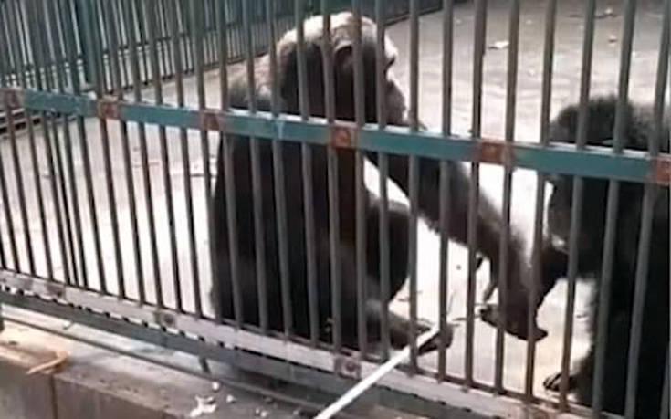Χιμπατζής κλέβει selfie stick και η σύντροφός του το επιστρέφει