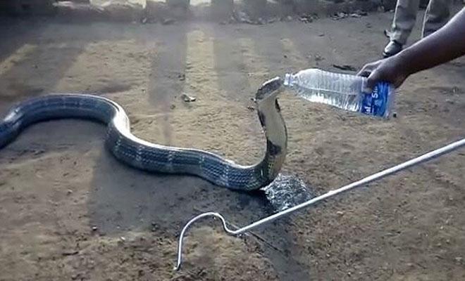 Διψασμένη βασιλική κόμπρα πλησιάζει χωριό για να σωθεί! [Βίντεο]