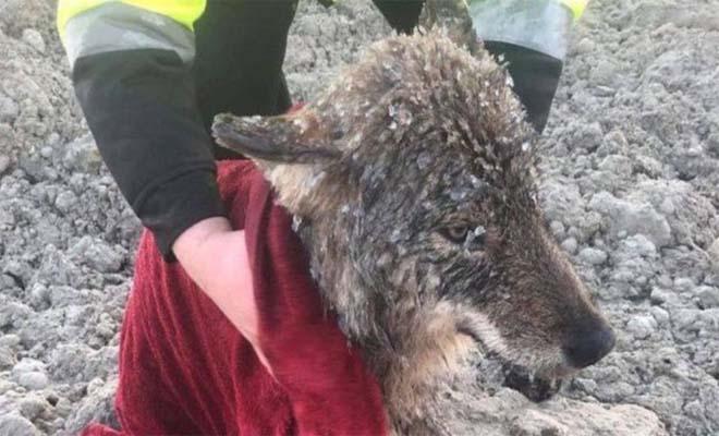 Έσωσαν λύκο από παγωμένο ποτάμι επειδή τον πέρασαν για… σκύλο! [Εικόνες]