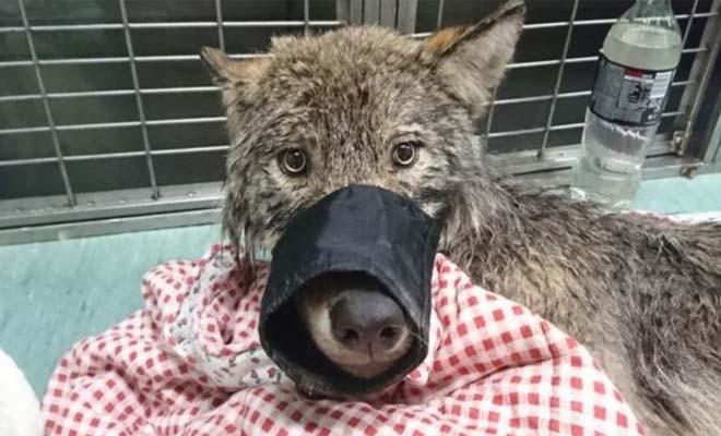 Έπεσαν στο ποτάμι για σώσουν ένα σκύλο… αλλά τελικά έσωσαν λύκο!