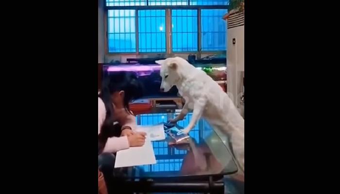 Εκπαίδευσε το σκύλο για να επιτηρεί την κόρη του την ώρα που διαβάζει [βίντεο]