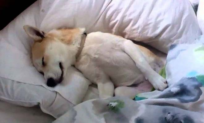 Κουτάβι κάνει το κοιμισμένο για να μην το πάνε στον κτηνίατρο [Βίντεο]