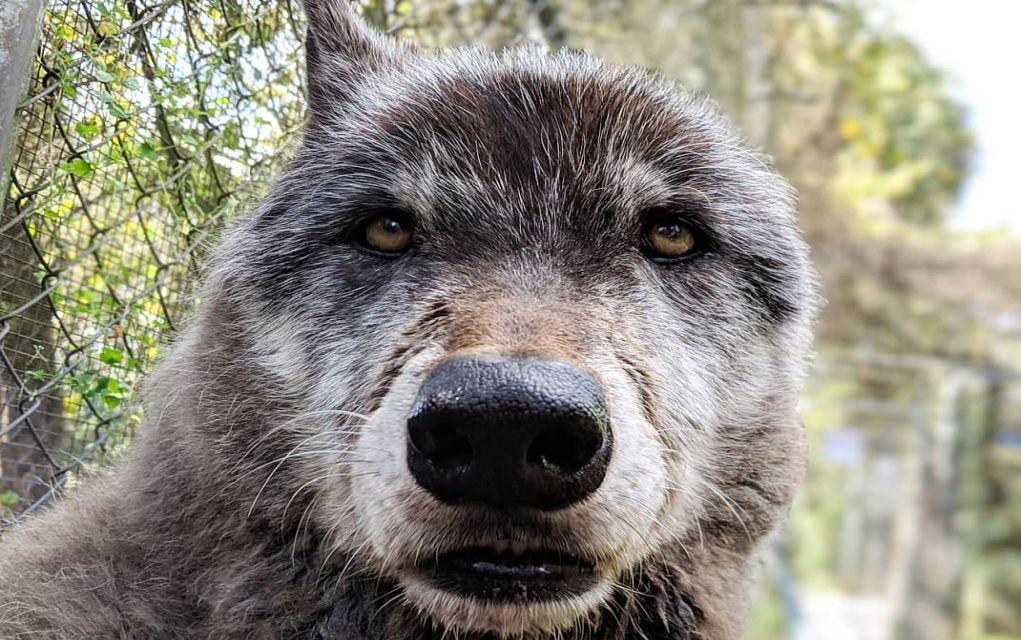 Η συγκλονιστική ιστορία του Γιούκι, του γιγαντιαίου λυκόσκυλου [φωτο]