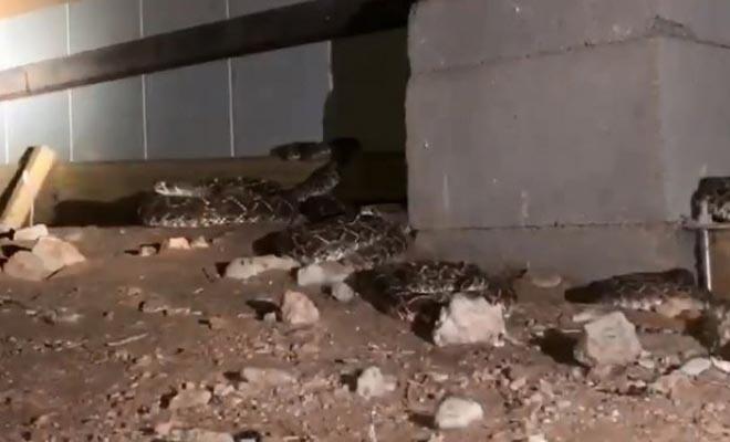 Χάλαγε το σήμα στην τηλεόραση και ευθύνονταν 45 φίδια που ήταν κάτω από το σπίτι του [Βίντεο]
