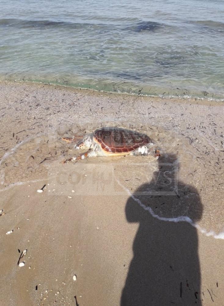 Κέρκυρα: Νεκρή χελώνα στην παραλία της Αχαράβης (βίντεο)