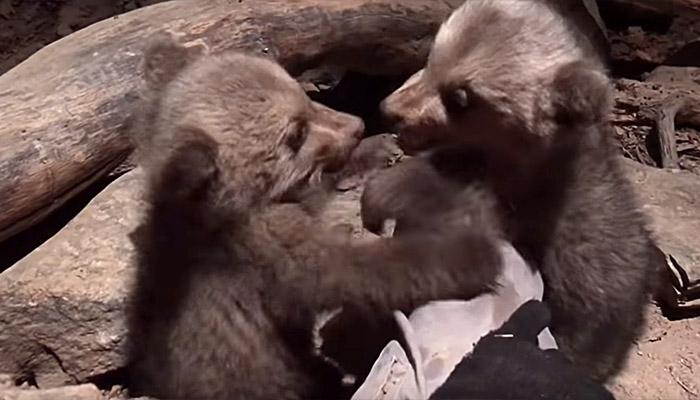Ο Μπράντλεϊ και ο… Κούπερ είναι τα δύο νέα αρκουδάκια του Αρκτούρου