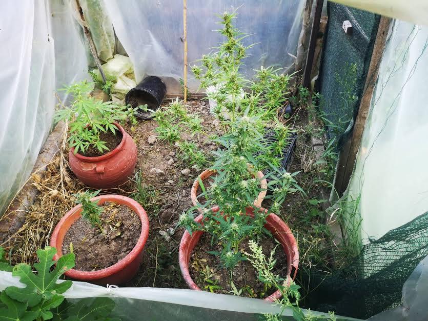 Θεσσαλονίκη: 50χρονη καλλιεργούσε κάνναβη στην αυλή της
