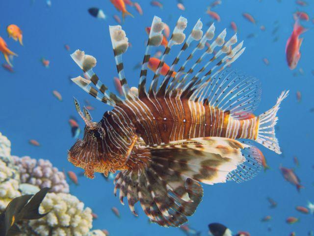 Συναγερμός: Λεοντόψαρα εμφανίστηκαν σε γνωστές παραλίες της Γαύδου