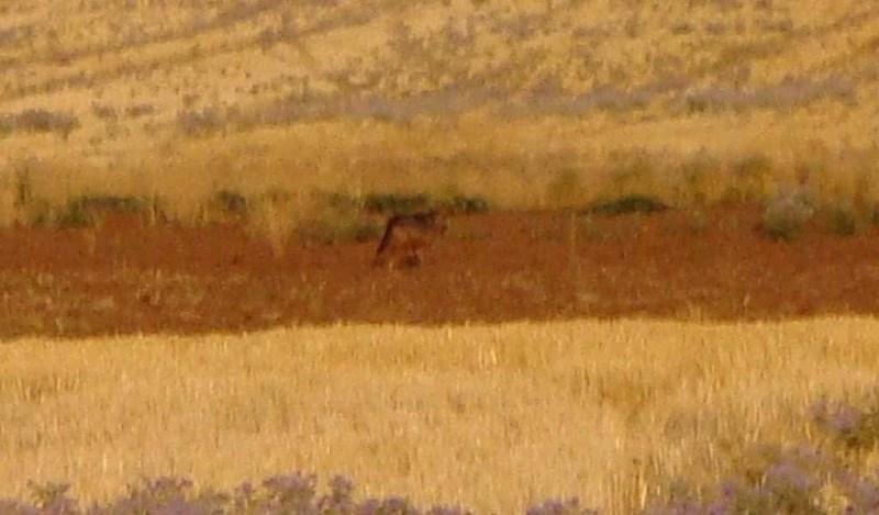 Θεσσαλονίκη: Αναστάτωση έχει φέρει αγέλη λύκων στους κατοίκους της Νέας Μεσημβρίας