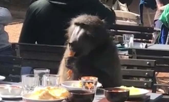 Μπαμπουίνος τους σήκωσε από το τραπέζι για να φάει τη μακαρονάδα τους!
