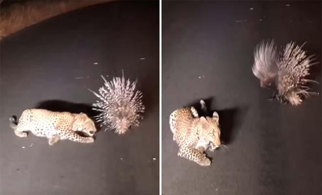 Σκούρα τα βρήκε μια νεαρή λεοπάρδαλη στην προσπάθειά της να πιάσει έναν ακανθόχοιρο