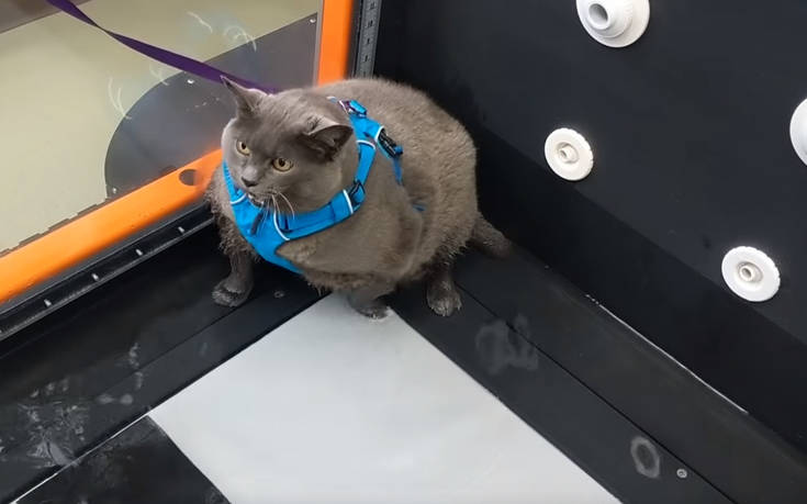 Υπέρβαρη γάτα μάλλον δε δείχνει προθυμία για το πρόγραμμα γυμναστικής