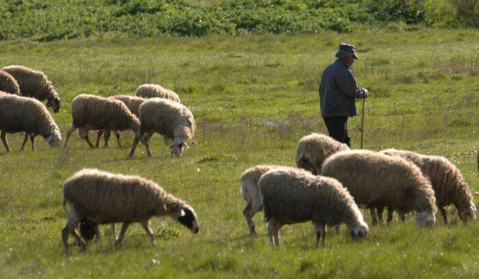 Κάρπαθος: Έσφαξε το πρόβατο του γείτονα επειδή μπήκε στο κτήμα του