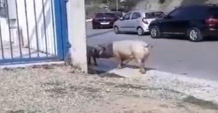 Αναστάτωση στη Θεσσαλονίκη: Γουρούνια πήγαν για…καφέ στις Συκιές (βίντεο)