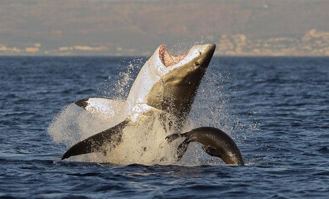Η παράξενη συμπεριφορά του μεγάλου λευκού καρχαρία που έβαλε σε σκέψεις την επιστήμη [Βίντεο]