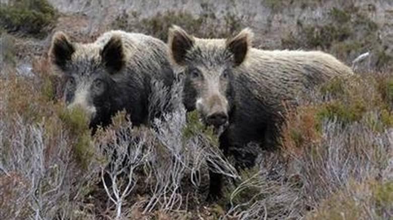Μπόνους 100 ευρώ για κυνηγούς που σκοτώνουν αγριογούρουνα