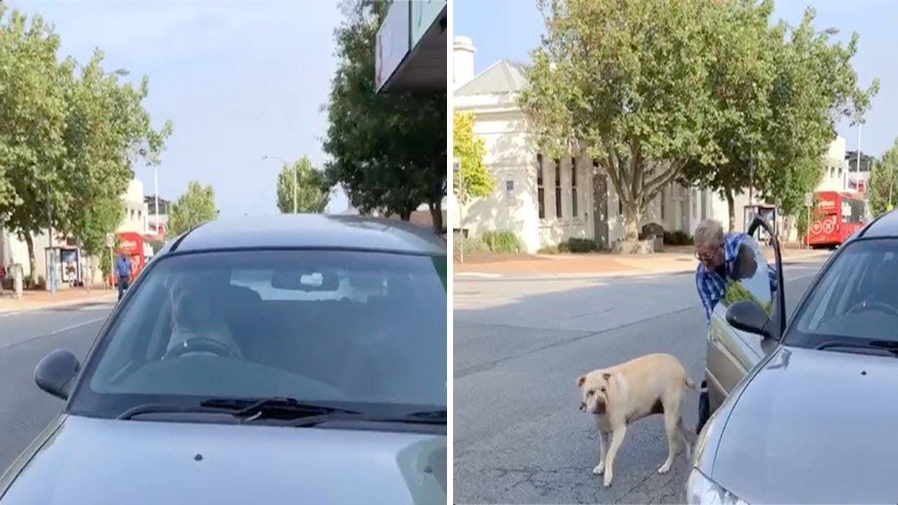 Σκύλος κορνάρει επίμονα στο αφεντικό του για να κάνει πιο γρήγορα