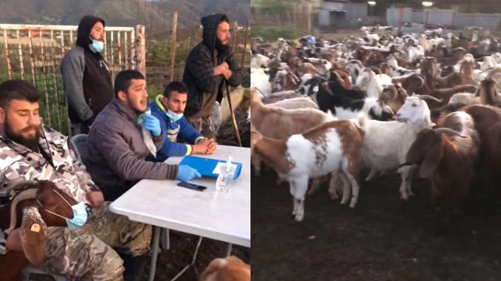 Κύπριοι τσοπάνηδες κάνουν στα γίδια τους μάθημα για τον κορωνοϊό