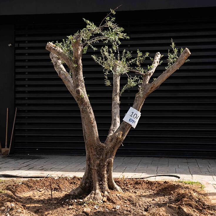 Παγκόσμια Ημέρα Περιβάλλοντος: Αιωνόβιες ελιές στην Ιερά οδό από τον δήμο Αθηναίων