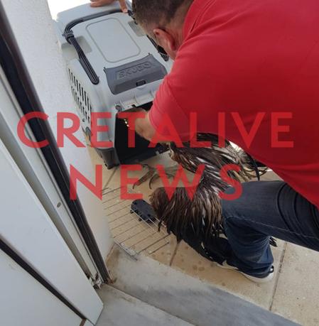 Κρήτη: Έσωσαν τραυματισμένο όρνεο από τη θάλασσα