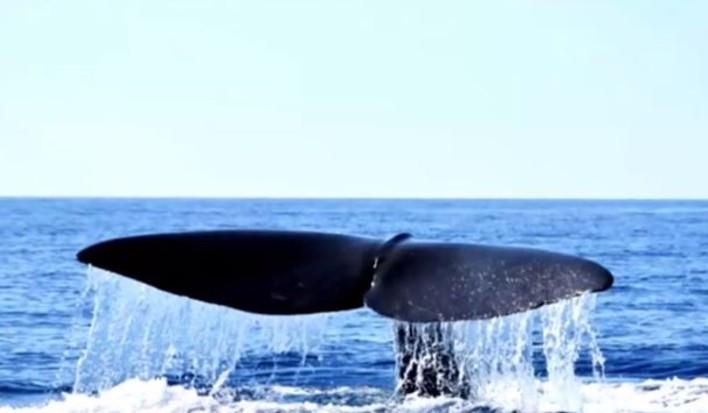 Φάλαινα φυσητήρας μήκους 20 μέτρων εμφανίστηκε στη Μάνη [βίντεο]