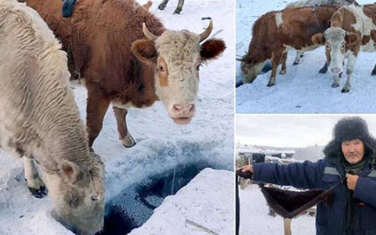 Σουτιέν έβαλαν στις αγελάδες στο πιο κρύο χωριό του κόσμου