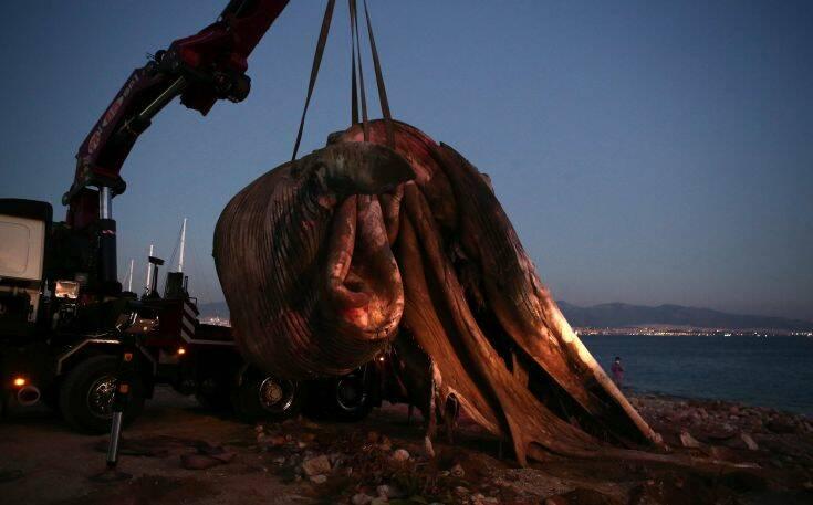 Φάλαινα στον Πειραιά: Πότε εκτιμάται ότι πέθανε και πώς επηρέασε η αλλαγή των ανέμων