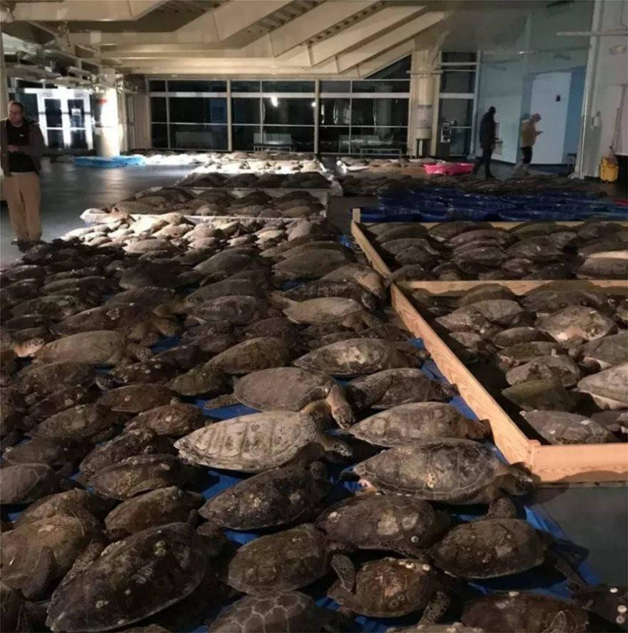 ΗΠΑ: 7.000 θαλάσσιες χελώνες παγωμένες στις ακτές του Τέξας – Επιχείρηση διάσωσης