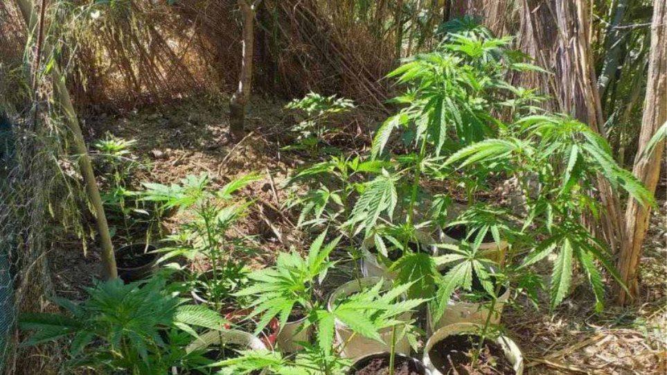 Δράμα: Καλλιεργούσε μίνι χασισοφυτεία σε χωριό της περιοχής